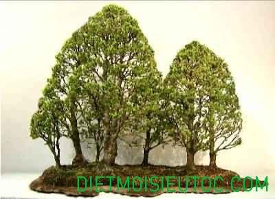 bonsai-dang-rung_10.jpg
