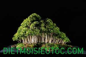 bonsai-dang-rung_11.jpg