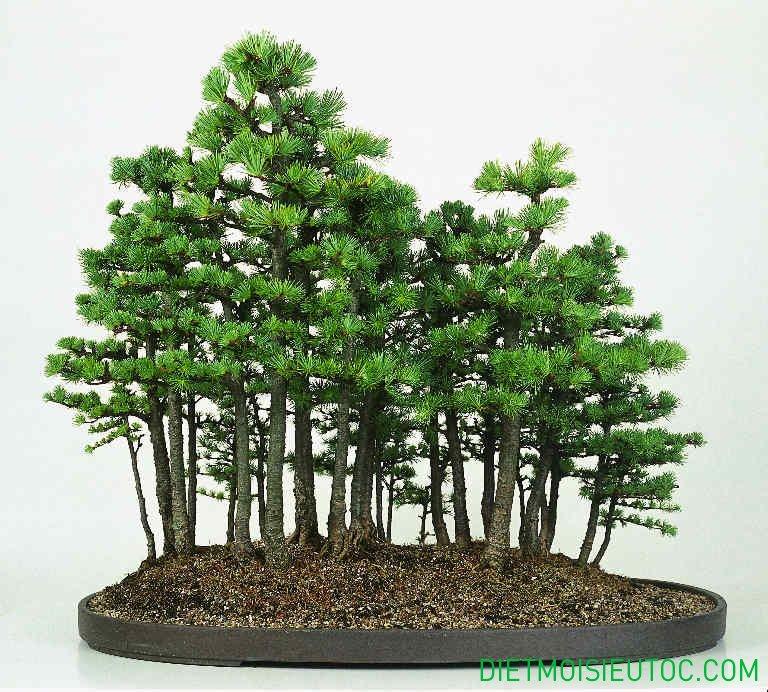 bonsai-dang-rung_12.jpg
