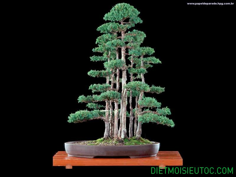 bonsai-dang-rung_13.jpg