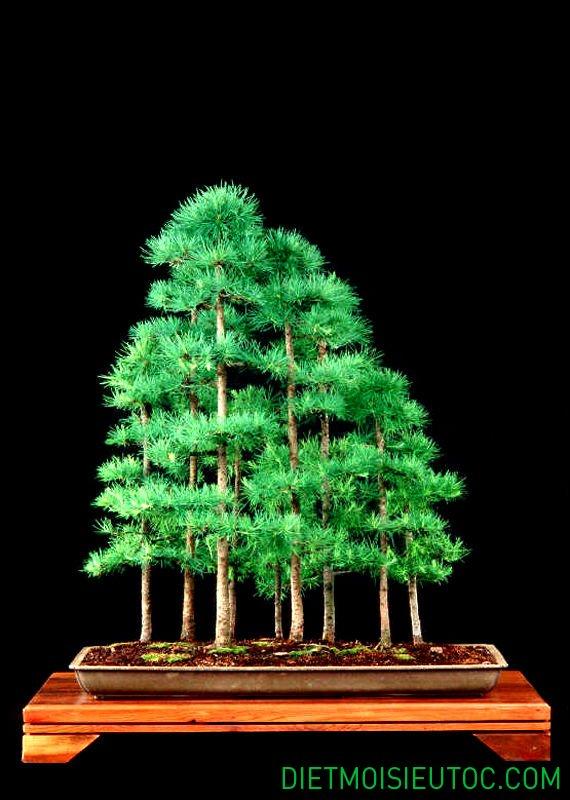 bonsai-dang-rung_14.jpg