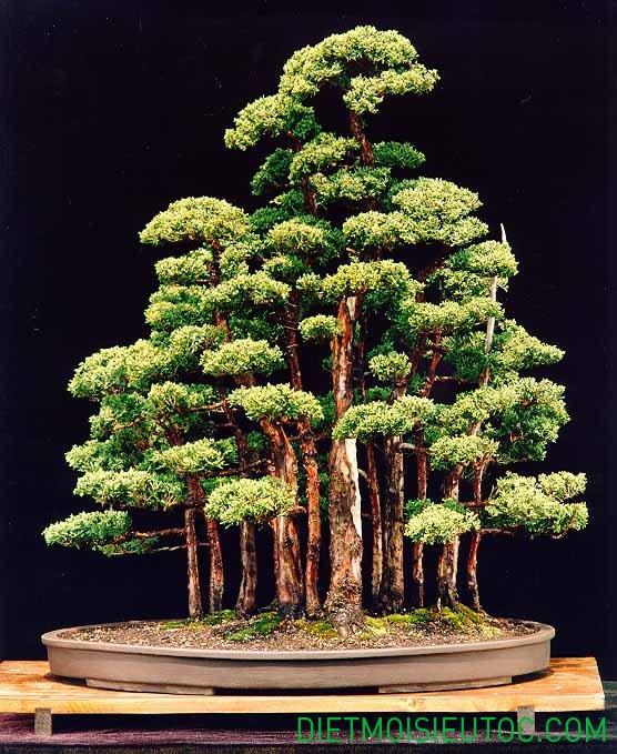 bonsai-dang-rung_15.jpg