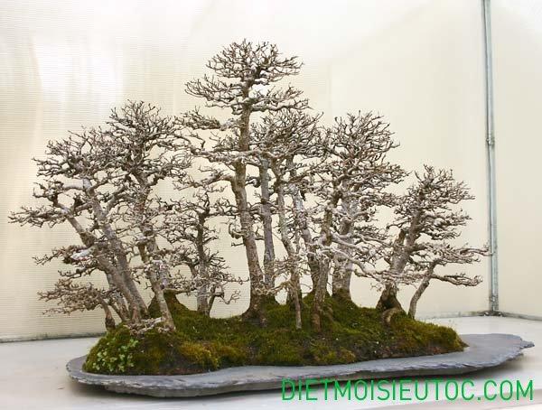 bonsai-dang-rung_16.jpg
