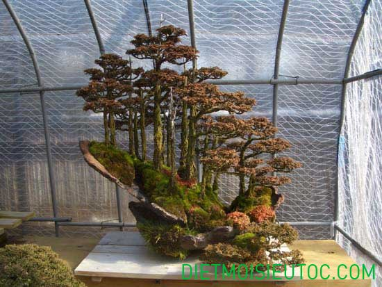 bonsai-dang-rung_5.jpg