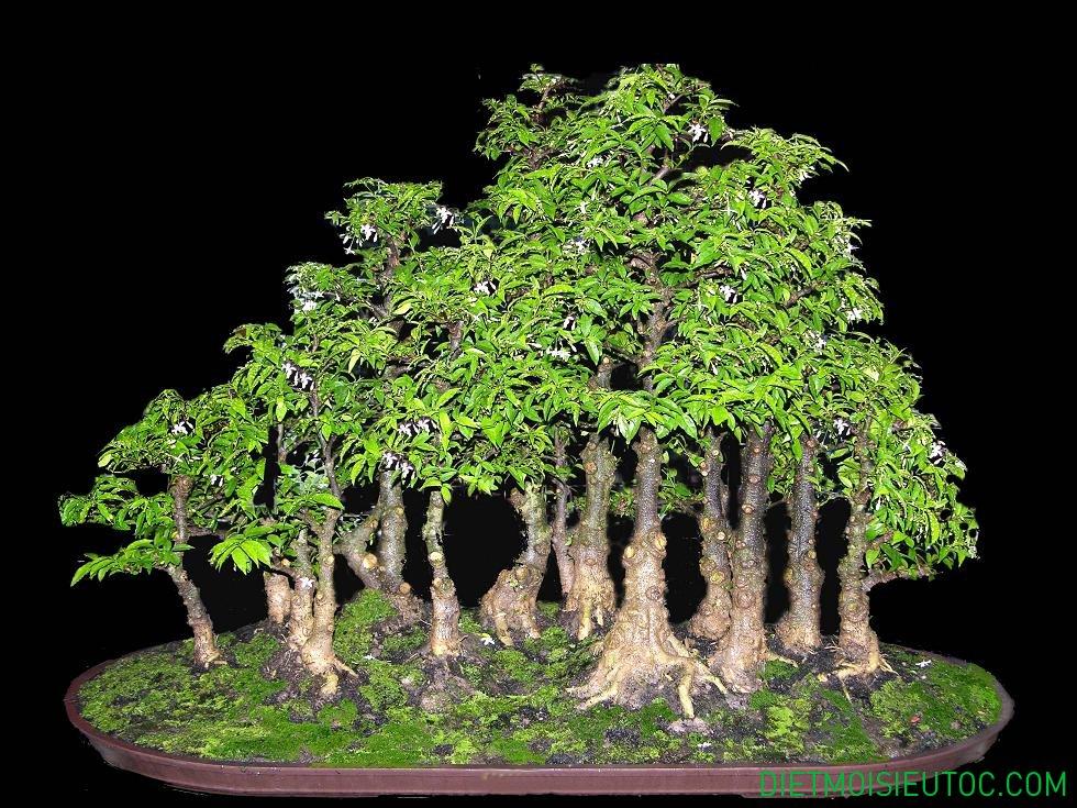 bonsai-dang-rung_6.jpg
