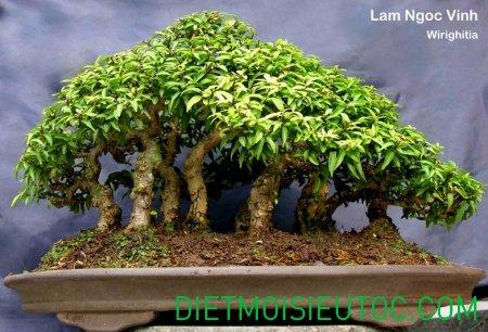 bonsai-dang-rung_7.jpg