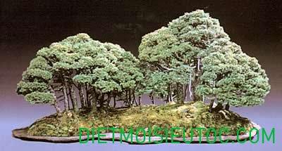 bonsai-dang-rung_8.jpg