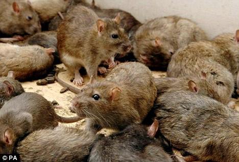 chuột là vật trung gian truyền các bệnh truyền nhiễm