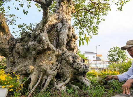 Cây bonsai bằng lăng trăm tuổi giá hơn 1 tỷ đồng ở sài gòn